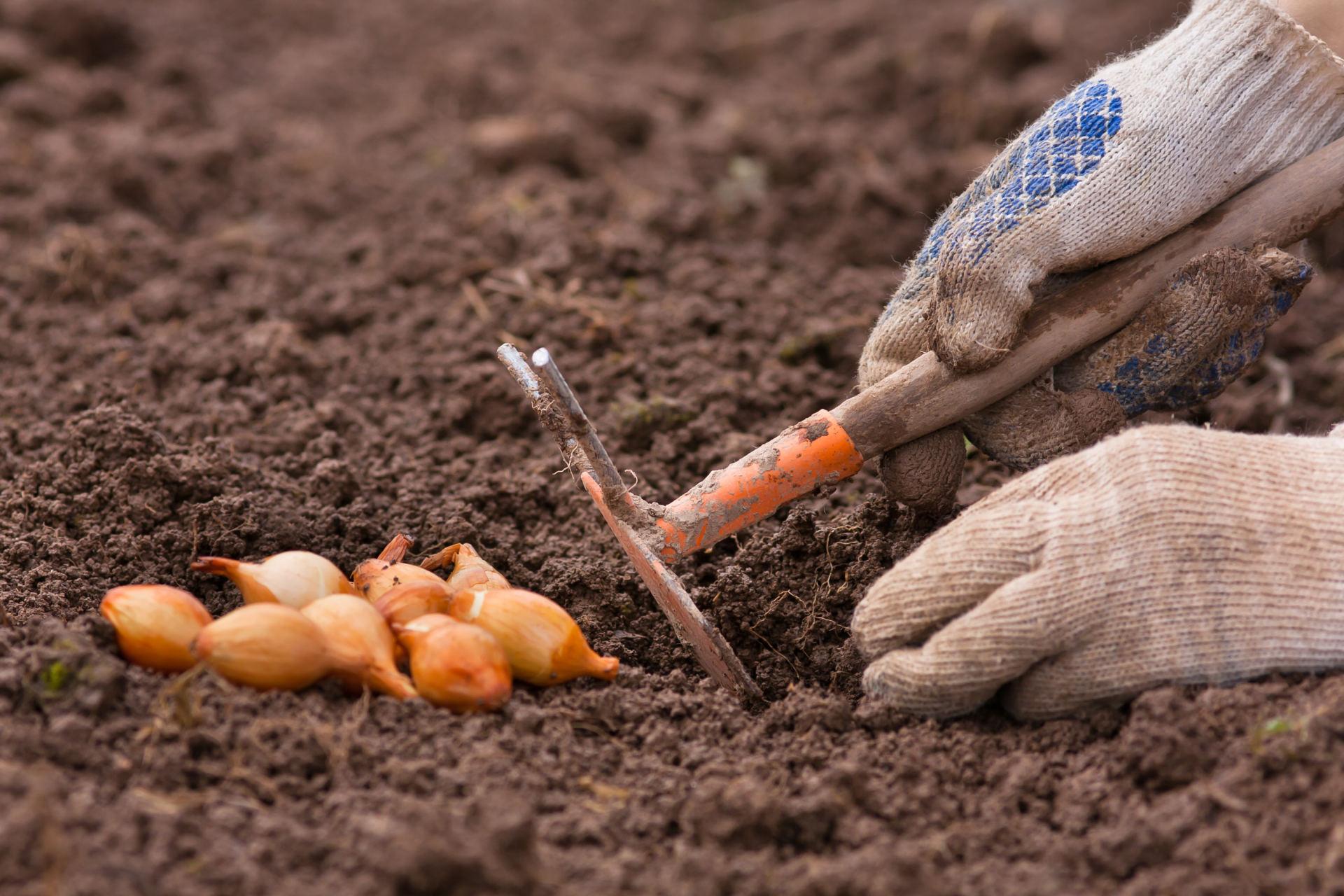 Как правильно сажать лук севок 18