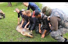 Išleidžiamame Laukžemių tvenkinyje rastą milžinišką šamą vos pakėlė trys vyrai