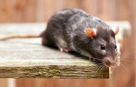 Vilniaus vaikų darželį užpuolė žiurkės