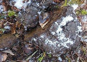 Meškos išmatos, rastos netoli Ignalinos