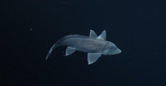 Pirmą kartą nufilmuotas paslaptingas ryklys vaiduoklis