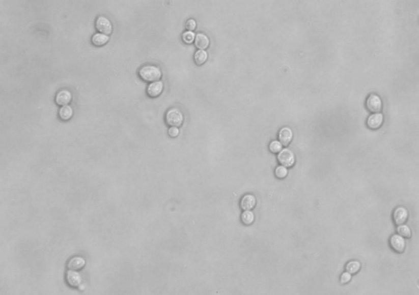 MIelių ląstelės pro mikroskopą