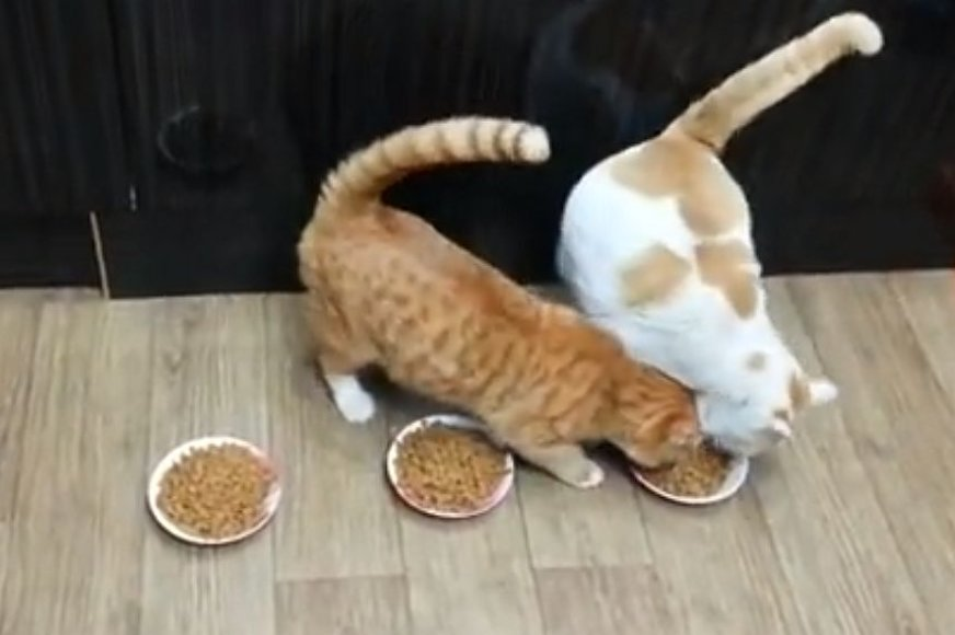 Katės prie maisto dubenėlių