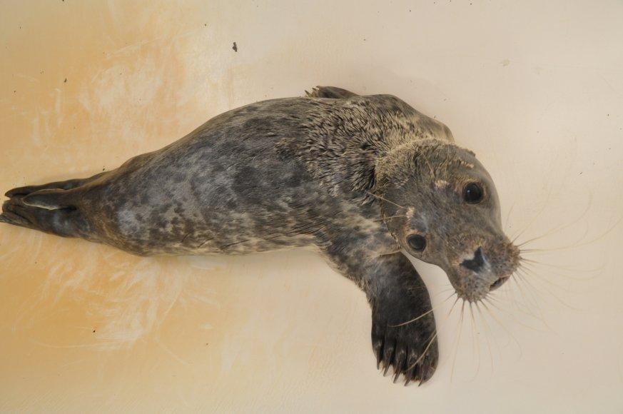 Muziejininkai priglaudė Smiltynėje priklydusį leisgyvį ruoniuką