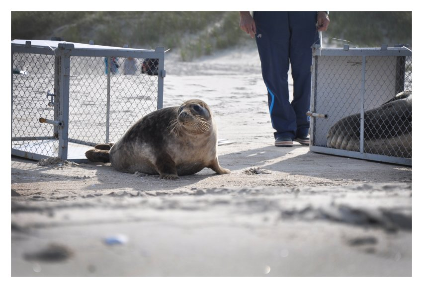 Į atvirą jūra palieti du jūrų muziejuje išauginti ruoniai