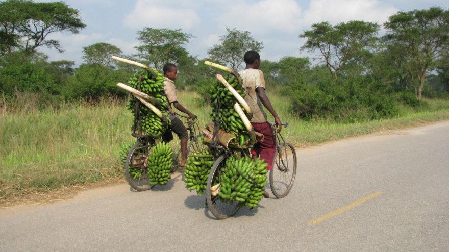 Bananai - daugelio kaimo žmonių pragyvenimo šaltinis