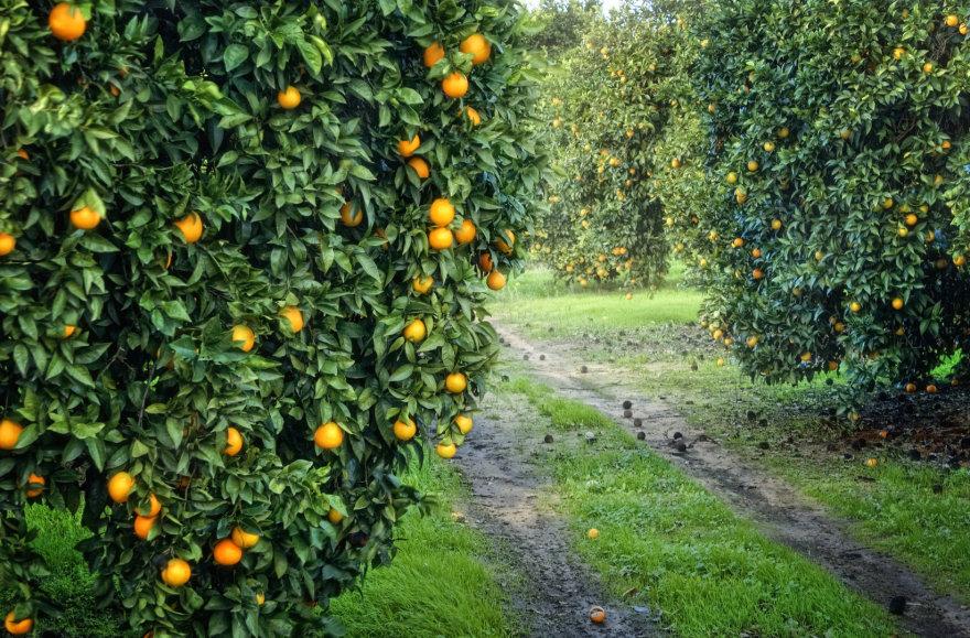Apelsinmedžių alėja