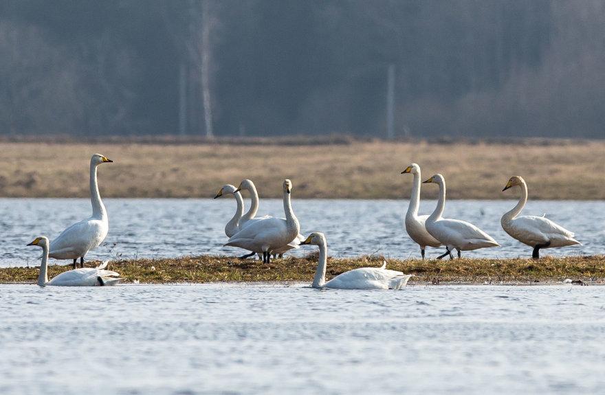 Grįžtantys pirmieji paukščiai