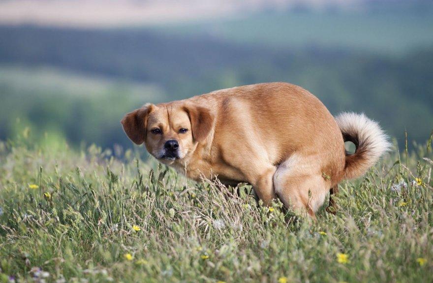 Besituštinantis šuo