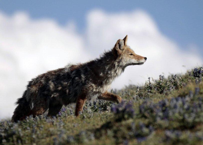 Kojotas
