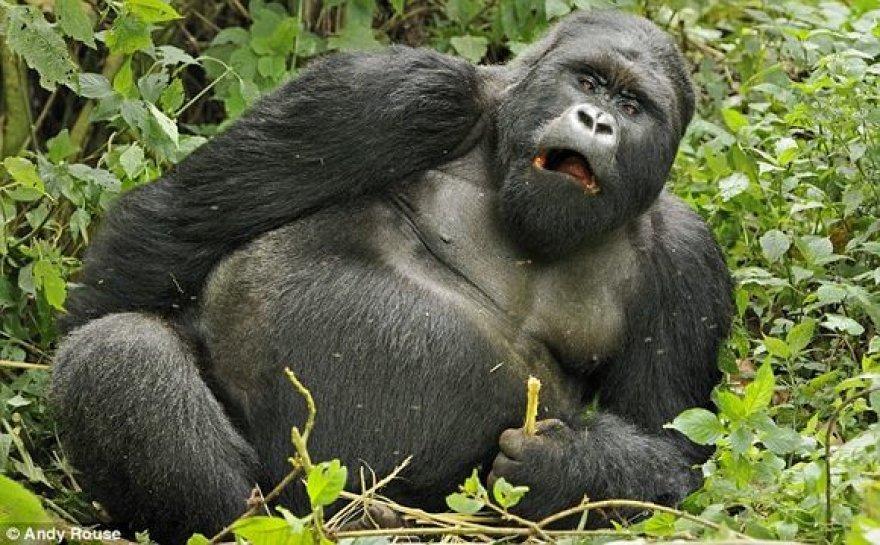 Girtuokliaujanti gorila