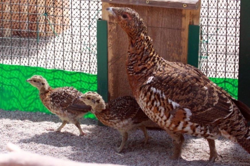 Patelė su jaunikliais