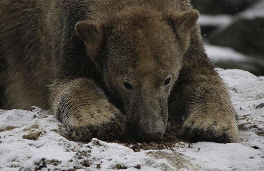 Penktadienį antrąjį gimtadienį švęsiantis Knutas tapo našta Berlyno zoologijos sodui.