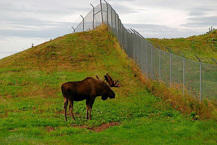 Briedis prie tvoros
