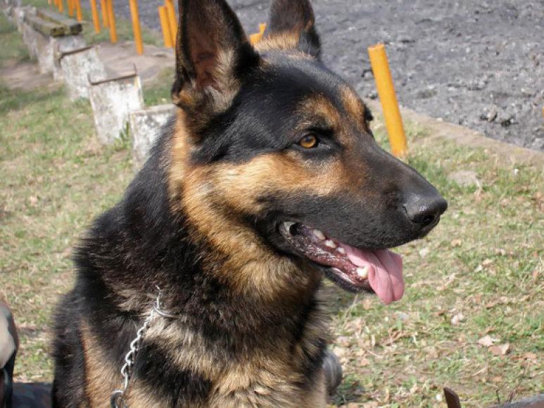 Tarnybinis pasieniečių šuo