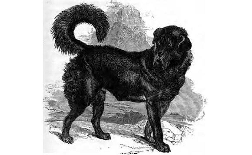 Tibeto mastifas, kurį 1859 m. nupiešė Johnas Henry Walshas