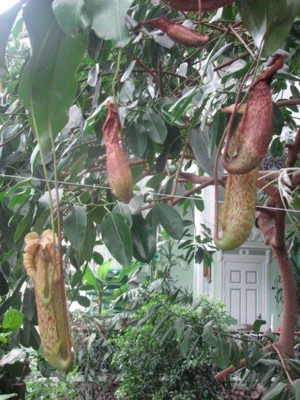 Šiuo metu žiemos sode žaliuoja musgaudis, kurį muziejui padovanojo viena kretingiškė.