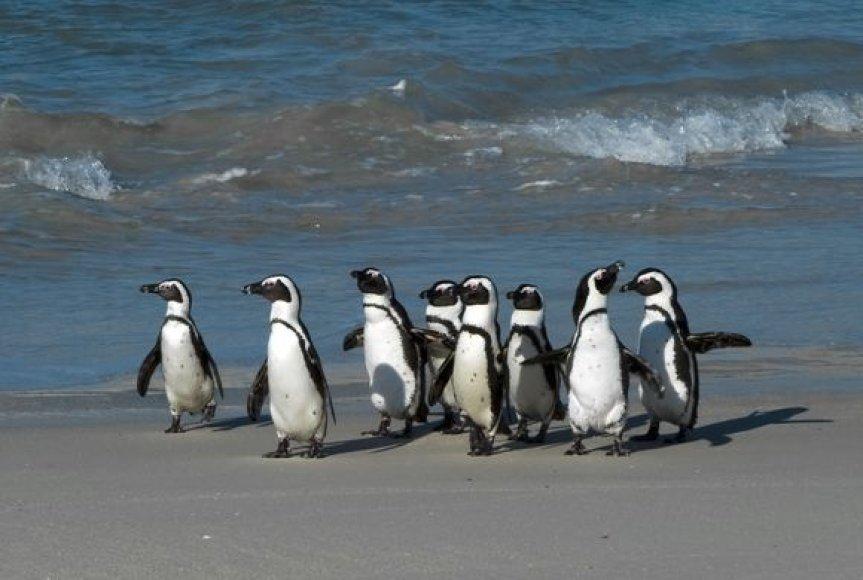Įprastai Brazilijos paplūdimiuose kasmet pasirodo 100-150 pingvinų, tačiau jie būna gyvi.