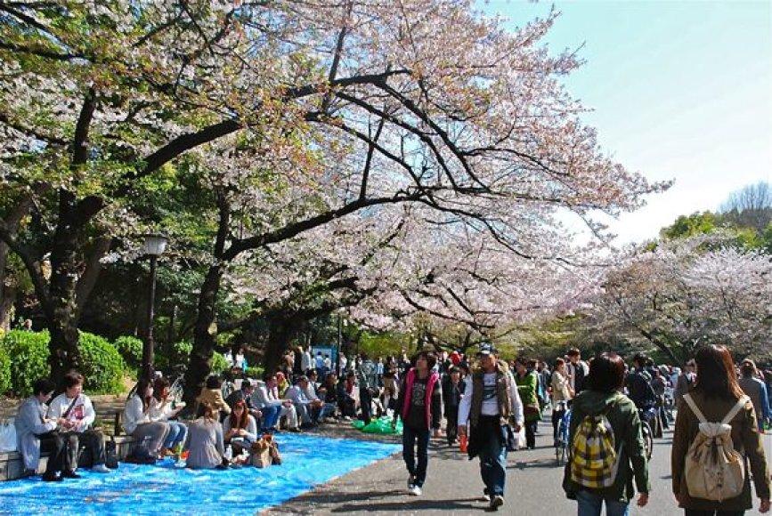 Japonai Tokijaus Ueno parke grožisi sakuromis.