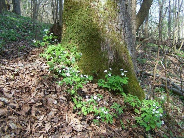 Trilapė bligna (Isopyrum thalictroides)