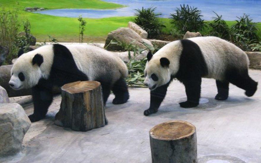Patino Tuan Tuanas ir patelės Yuan Yuan perdavimas laikomas per pastaruosius mėnesius labai pagerėjusių Kinijos ir Taivano santykių simboliu.