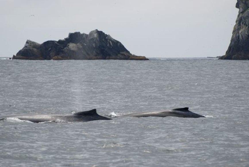 Kuprotieji banginiai vasaroja Aliaskos vandenyse.