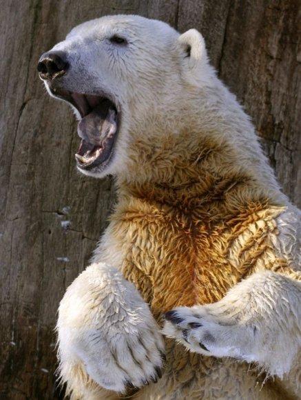 Garsiausias baltasis lokys Knutas greičiausiai nugaišo nuo smegenų ligos