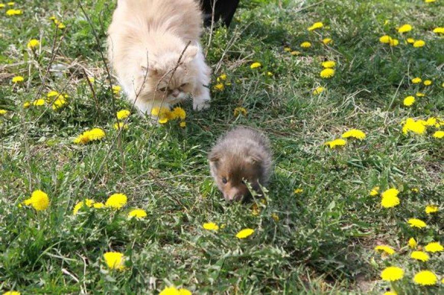 """Žuvusios lapės jauniklį apsiėmė globoti persų veislės katė. Tai pirmas toks atvejis per penkiolika """"Nuaro"""" veiklos metų."""