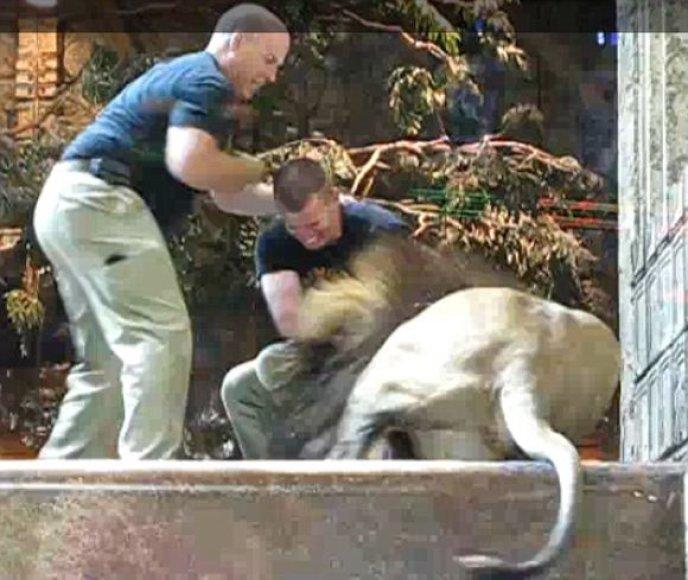 Liūtų išpuolis prieš dresuotoją