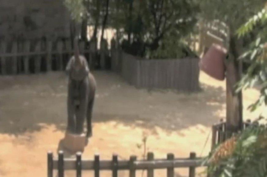 Kad pasiektų aukščiau kybančių skanėstų, dramblys Kandula turėjo pats susirasti ir atsiridenti kubinę kaladę.