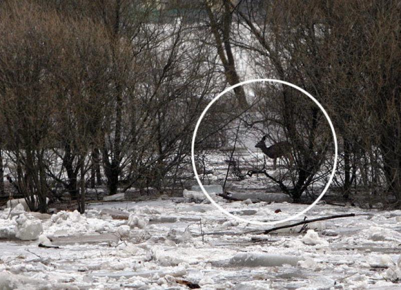 Stirna potvynio zonoje Kaune
