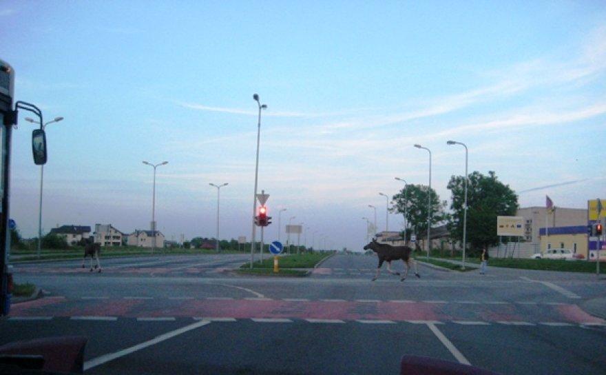 Briedžių porelė trečiadienio vakarą perbėgo Kretingos gatvės ir Šiaurinio prospekto sankryžą.