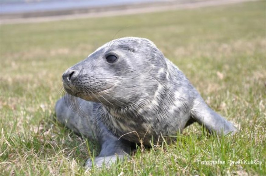 Jūrų muziejuje slaugomas Nemirsetoje rastas ruoniukas.