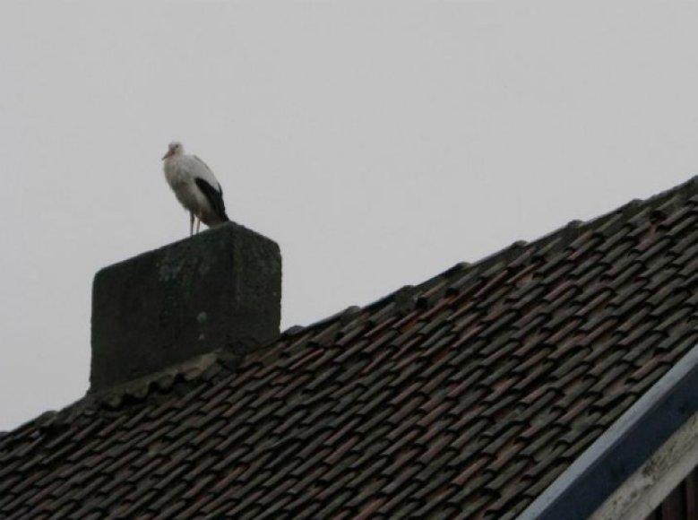 Gandras Juozas įgudo šildytis ant stogo prie kamino.