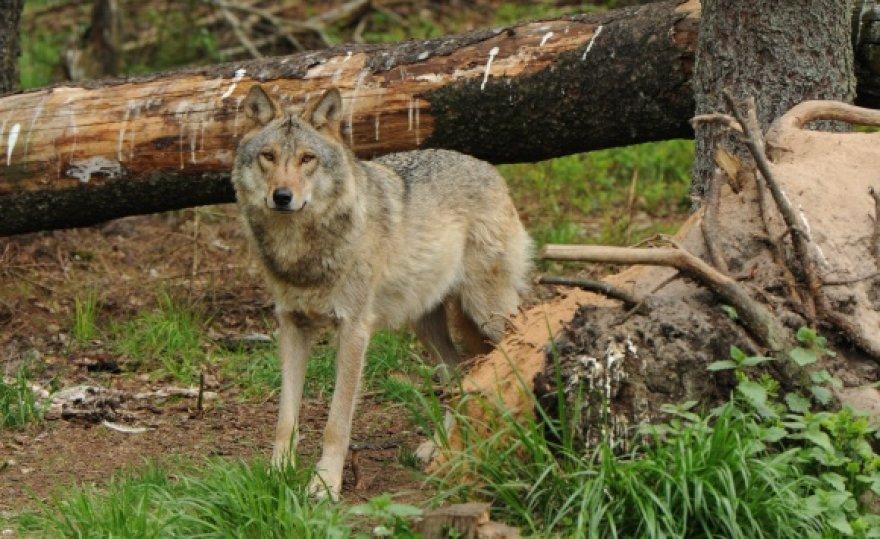 Mokslininkų duomenimis, Lietuvoje šiuo metu gyvena maždaug 500 vilkų. Per jų medžioklės sezoną, gruodį–balandį, leista sumedžioti 60 šių žinduolių.