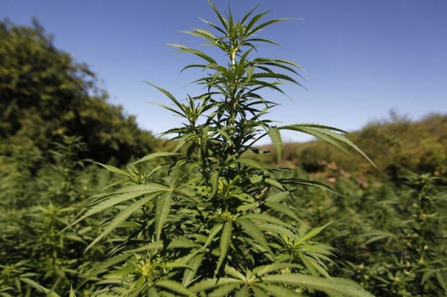 Naikinama marihuana
