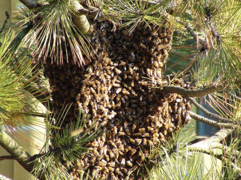 Bičių spiečius