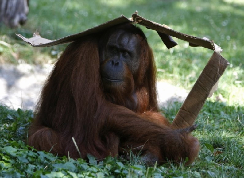 Orangutangas