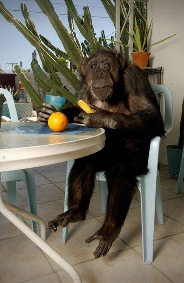 Filmuose apie Tarzaną vaidinusi šimpanzė Cheetah
