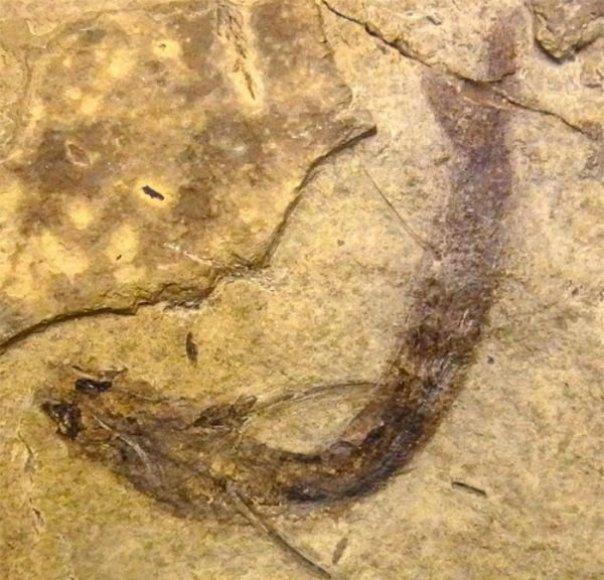 Išnykusių žuvų Acanthodes bridgei liekanos