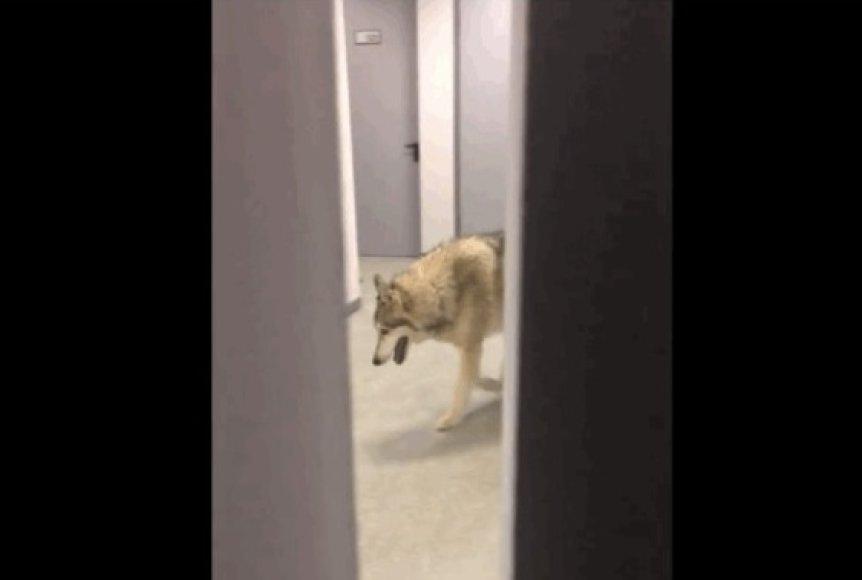 Buvo nufilmuotas po Sočio viešbučio koridorių neva vaikšiojantis vilkas
