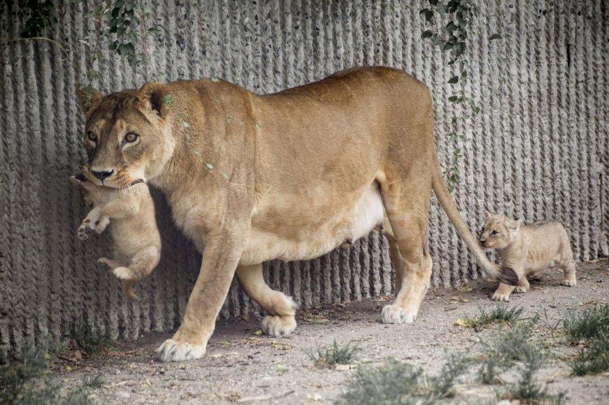 Liūto jaunikliai su mama Hopenhagos zoologijos sode (2013 m. liepos mėn.)