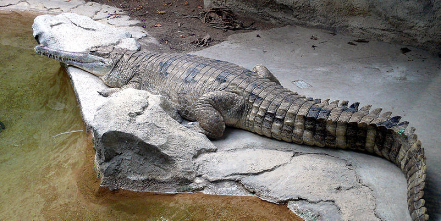 Gavialinis krokodilas