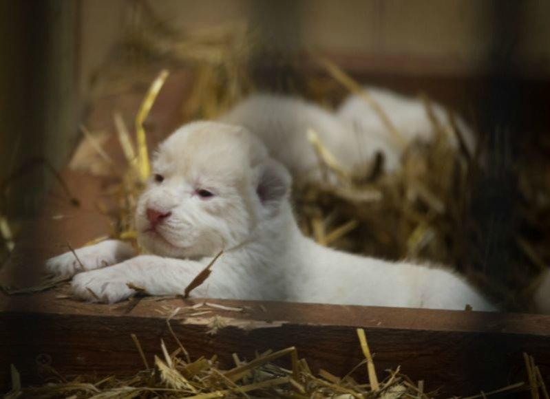Lenkijos Borysevo zoologijos sode pasaulį išvydo trys baltieji liūtukai.