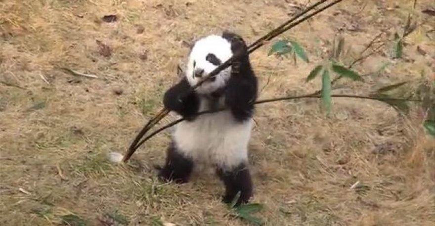 Mažoji panda bando suvalgyti bambuką