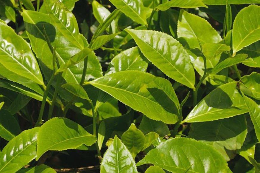 Arbatmedžio lapeliai
