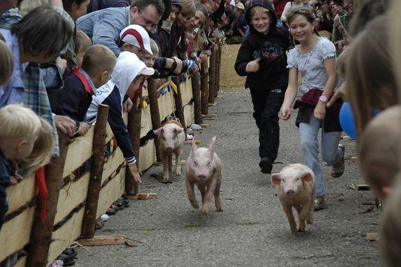 Kiaulių lenktynės nepaliko abejingų. Rausvi gyvuliai buvo ir filmuojami, ir fotografuojami.
