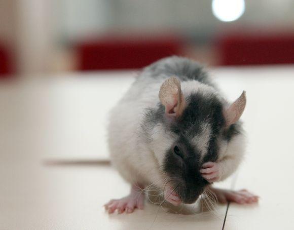 Žiurkė
