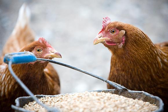 Iš kur į Lietuvą atkeliauja vištiena ir vištų kiaušiniai, dažnai žino tik jų importuotojai.