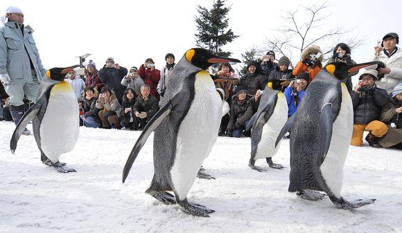 Pingvinai eina pasivaikščioti.